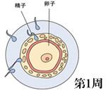 怀孕1周胎儿发育图